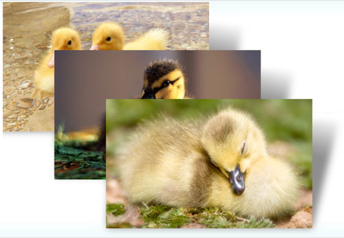 Ducklings theme